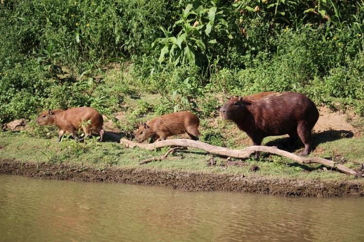 Famille de capybaras