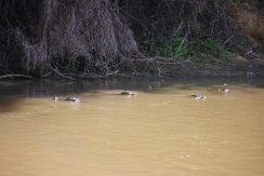 Crocodiles dans le rio Yacuma