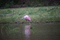 pampa_oiseau_rose