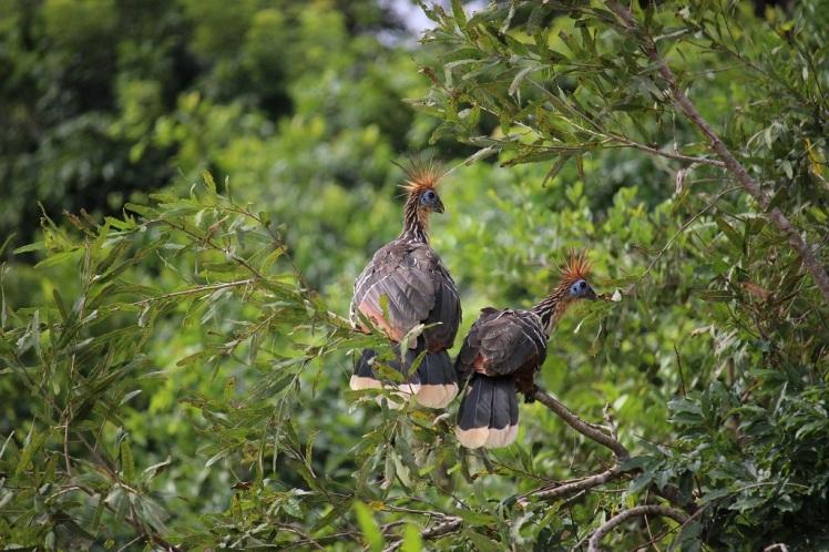 Oiseaux du paradis, Amazonie bolivienne