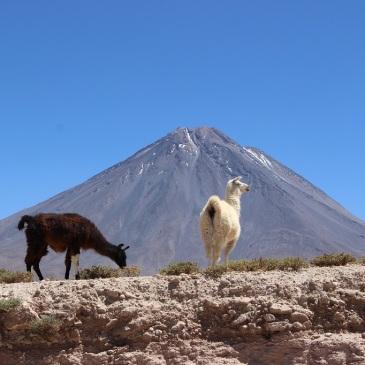 Lamas devant le volcan Licancabur, Chili