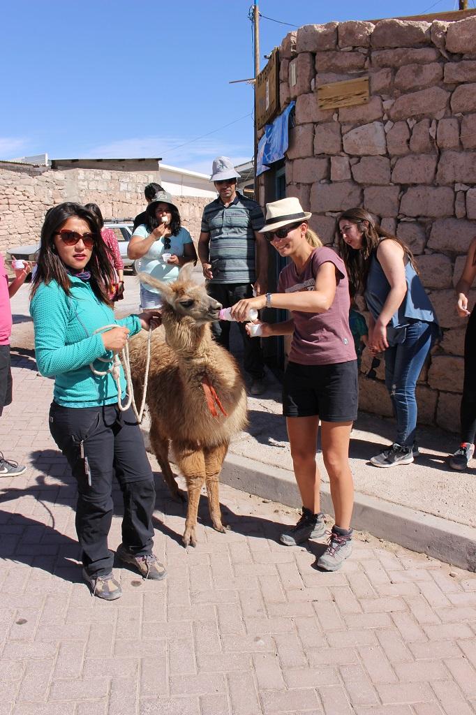 Steph donne le biberon à un bébé lama