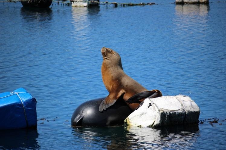 Un lion de mer à Queilén