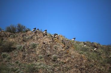 Condors des Andes