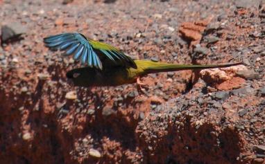 La quebrada est une base de nidification pour ces perroquets verts et bleus