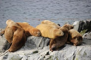 Des jeunes lions de mer recouverts de duvet