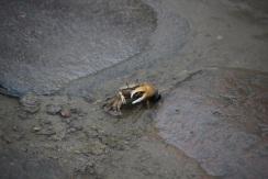 Les crabes à une pince