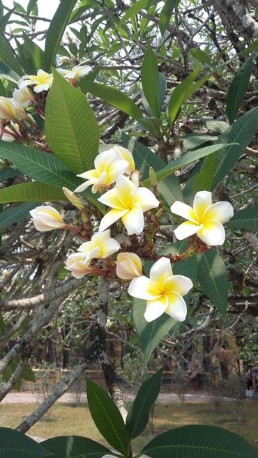 Les fleurs de frangipanier que j'adore