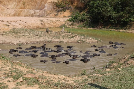 Les buffles d'eau passent leur vie dans la boue
