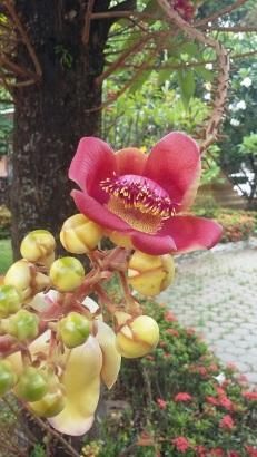 """Les fleurs de l'arbre """"boulet de canon"""""""